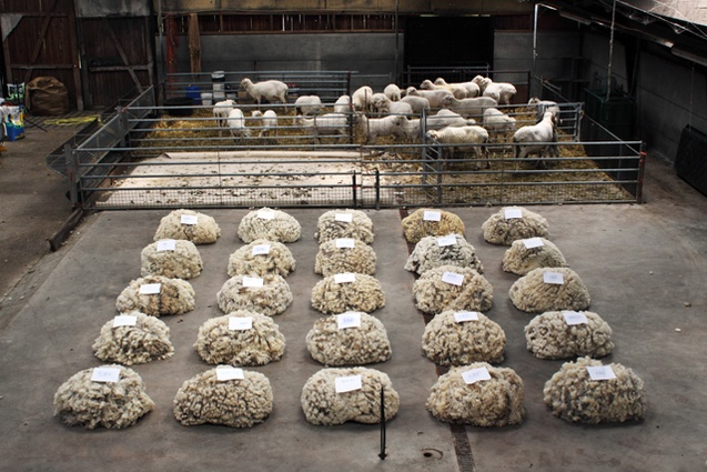 There is only one flock of Merino sheep in the Netherlands.
