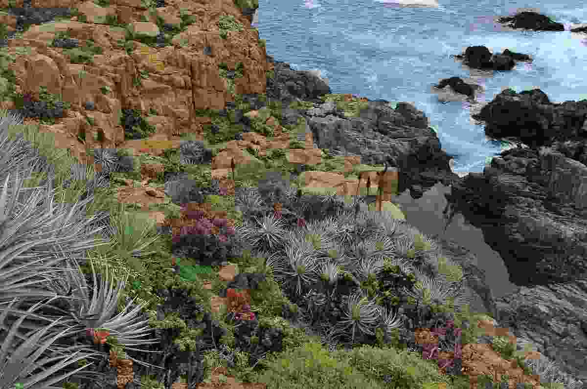 Succulents, bromeliads and cacti dominate the planting palette on the western sea-facing slopes of the Bahia Azul Garden