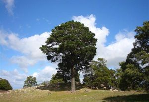 "The ""Lollipop Tree"" at Mount Beckworth Scenic Reserve."