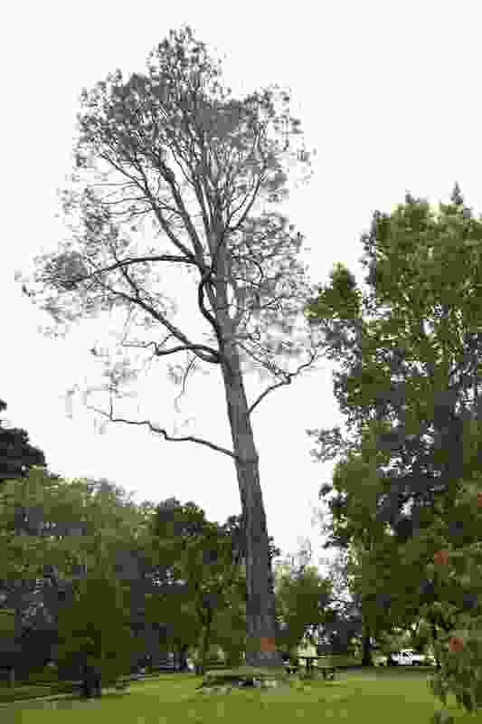 Digger Pine, Hamilton