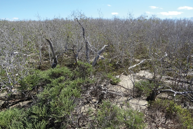 The mangrove dieback coincided with an unusually lengthy period of severe drought, unprecedented high temperatures and a temporary drop in sea level.