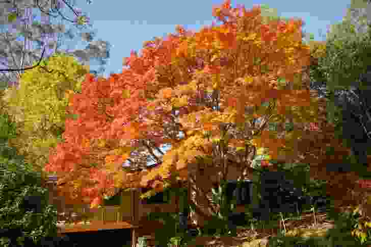 Japanese Maple, The Crescent, Sassafras.