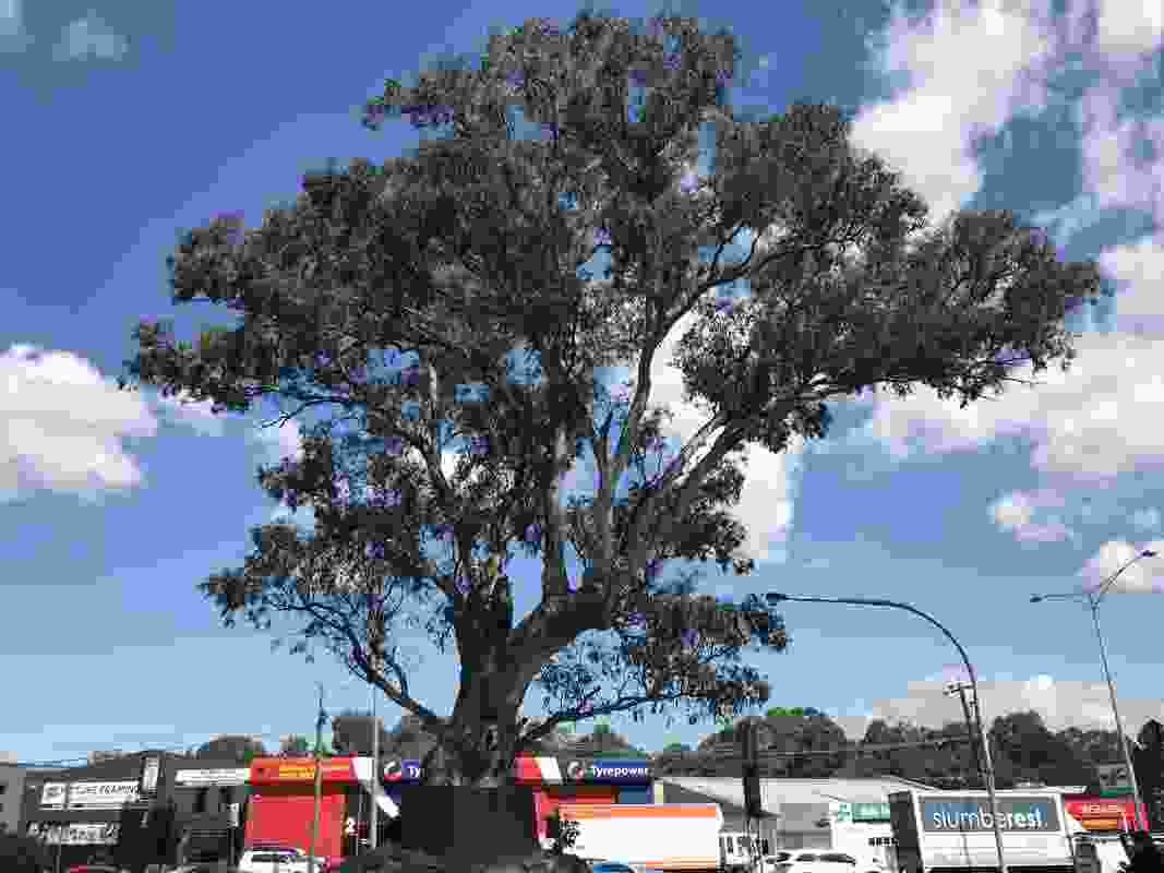 A river red gum in Bulleen has been named the 2019 Victorian Tree of the Year.