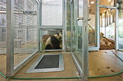 The new panda holding building houses three holding dens and a nursery.