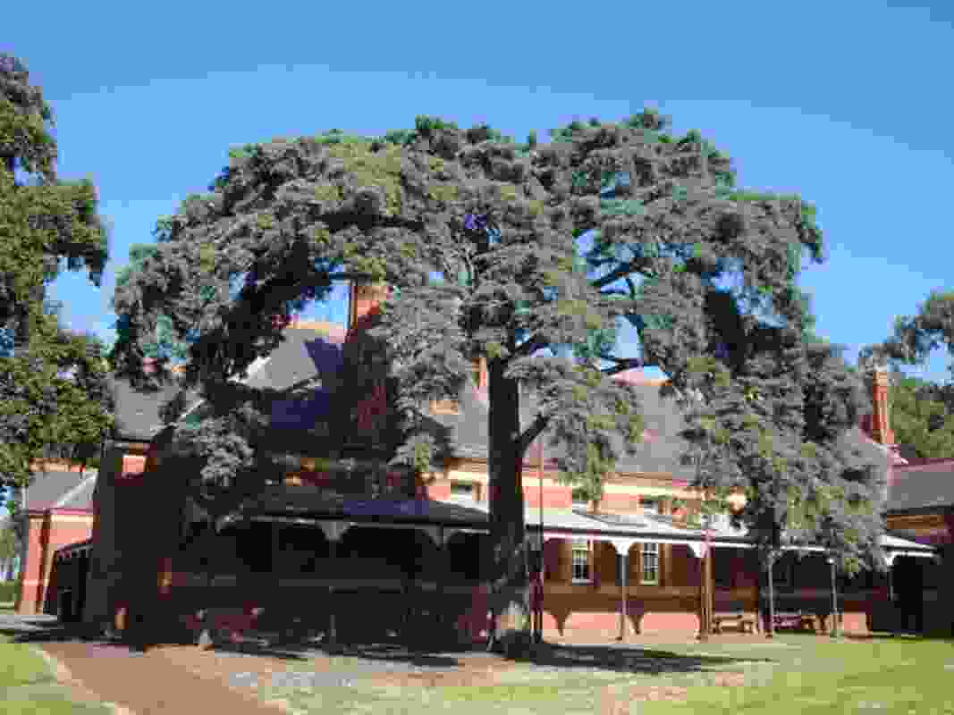 A weeping Mexican cyprus in Sunbury was shortlisted in the 2019 Victorian Tree of the Year Awards.