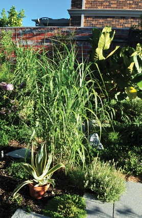 <i>Miscanthus x giganteus</i> (giant miscanthus) rapidly provides height and depth to the new garden while potted plants fill temporary gaps.