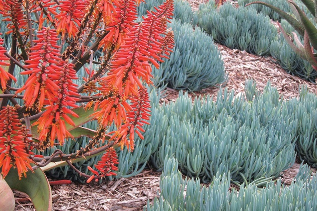 Hardy succulents, grasses and a mix of native and exotic shrubs are planted in the wave-like garden beds.