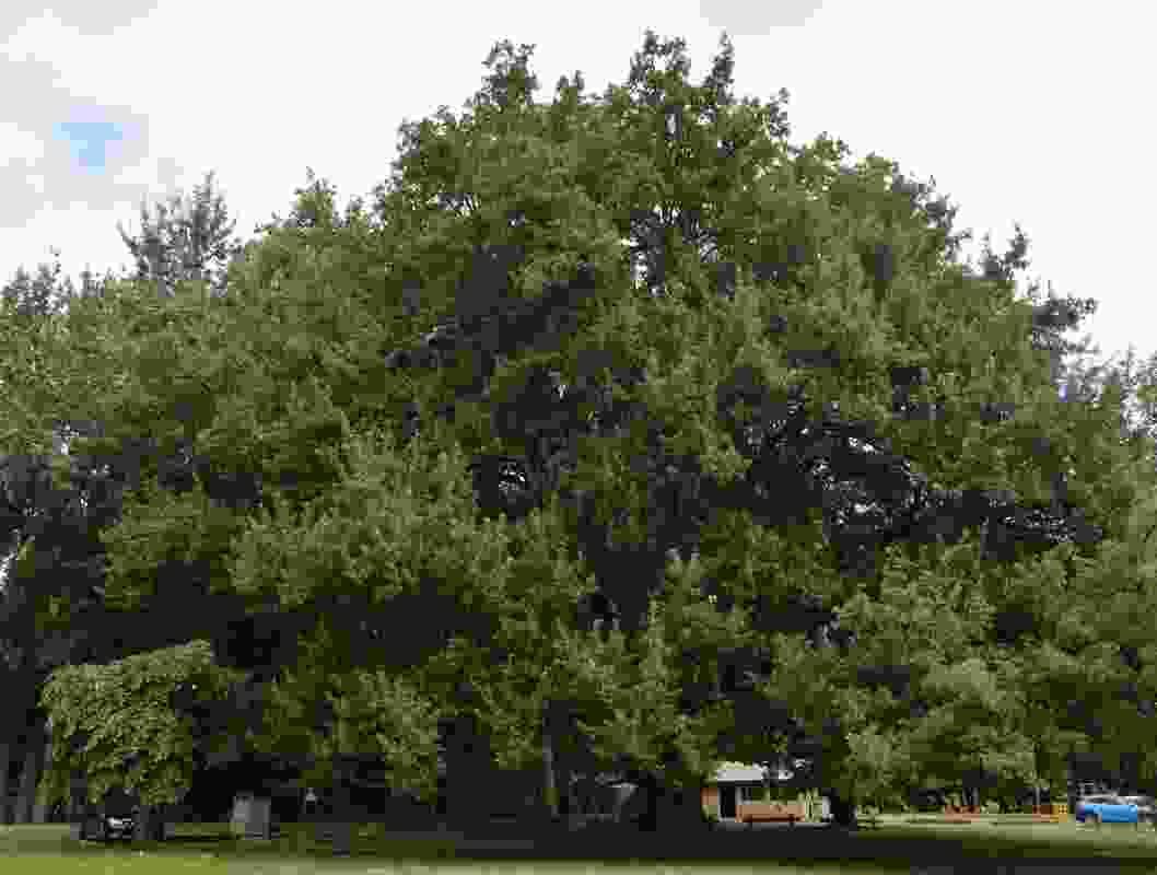 Chestnut-leaved oak, Leongatha