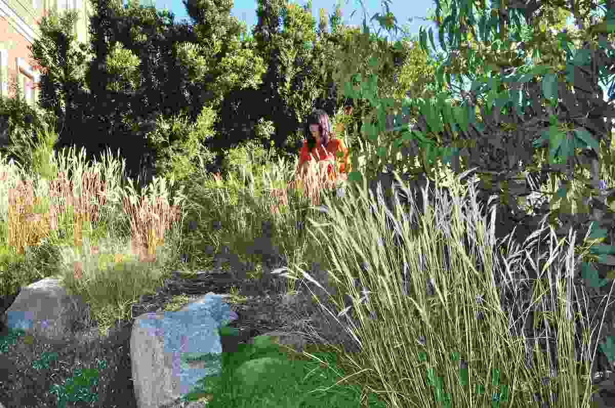 Charles House garden: Scleranthus biflorus (cushion bush) grows around granite boulders and clumps of grasses capture the golden morning light.