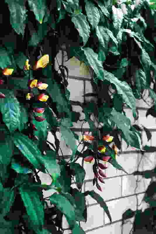 Lady slipper vine ( Thunbergia mysorensis ) adorns the brick entry walls and the pool lounge structure.
