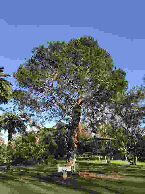 """One of the four original trees raised from a pine cone collected from the """"Lone Pine"""" in Gallipoli was shortlisted in the 2019 Victorian Tree of the Year Awards. The tree is located in the Warrnambool Botanic Gardens."""