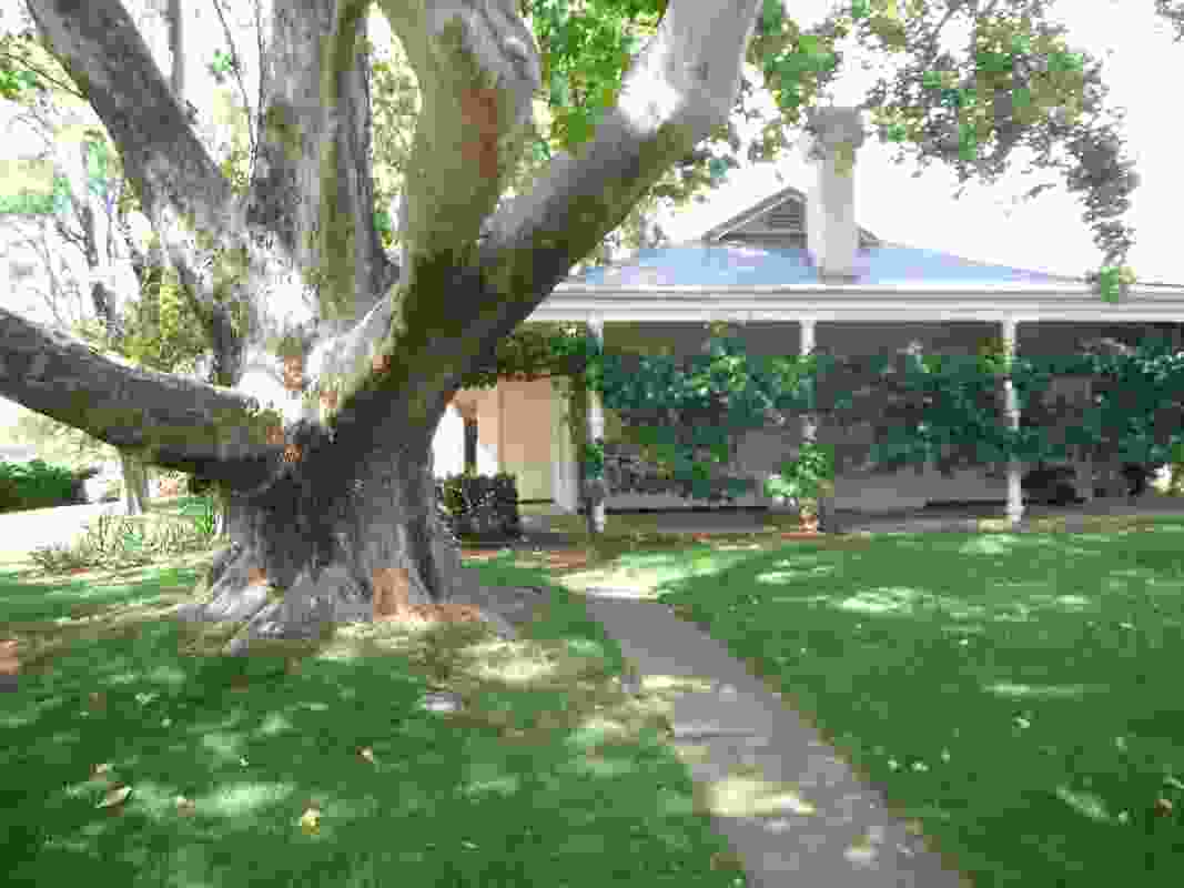 A london plane tree in Kyabram was shortlisted in the 2019 Victorian Tree of the Year Awards.