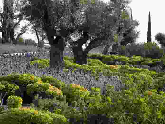 Park plantings at the Stavros Niarchos Foundation Cultural Centre emphasize drought-hardy species, including olives, conifers, Arbutus and Prunus.