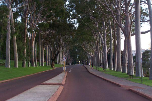 Lemon-scented gums lining Fraser Avenue in King's Park in Perth.