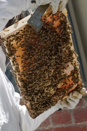 A hive of activity, urban bee farming is an older tradition than is popularly realized.