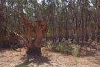 The ring trees of Victoria's Watti Watti people are an extraordinary part of our heritage