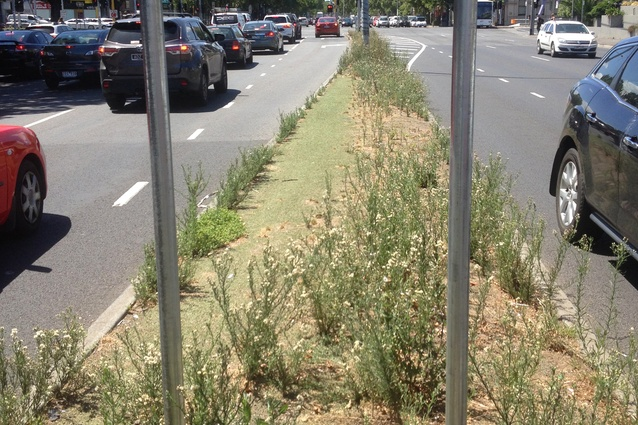 <i>Agapanthus orientalis</i> (agapanthus) once grew happily along this median strip in Melbourne despite extremely hostile growing conditions. It was removed some years ago and replaced with artificial turf.