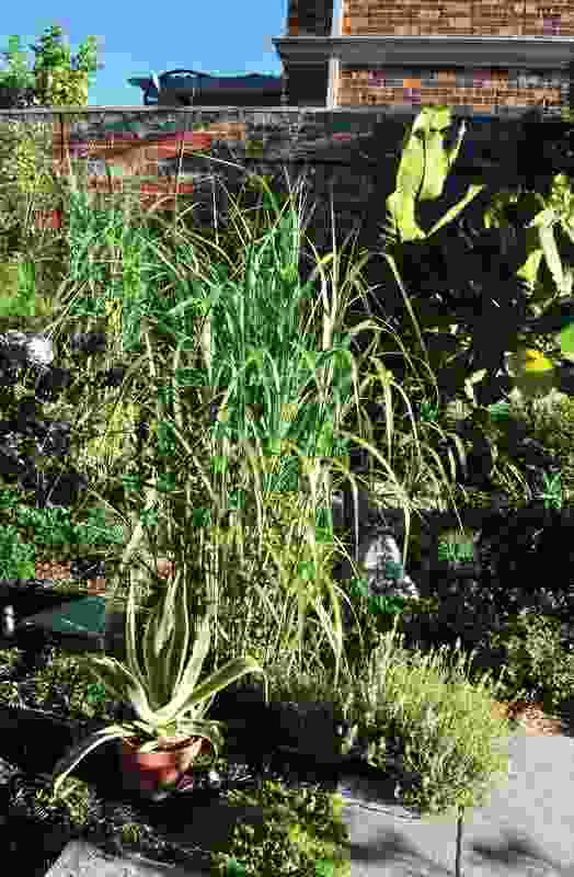 Miscanthus x giganteus (giant miscanthus) rapidly provides height and depth to the new garden while potted plants fill temporary gaps.