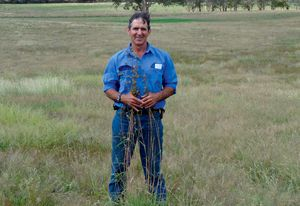 Each year grazier David Marsh harvests kangaroo grass seed (Themeda tiandra) from roadsides and sprinkles it around his paddocks.