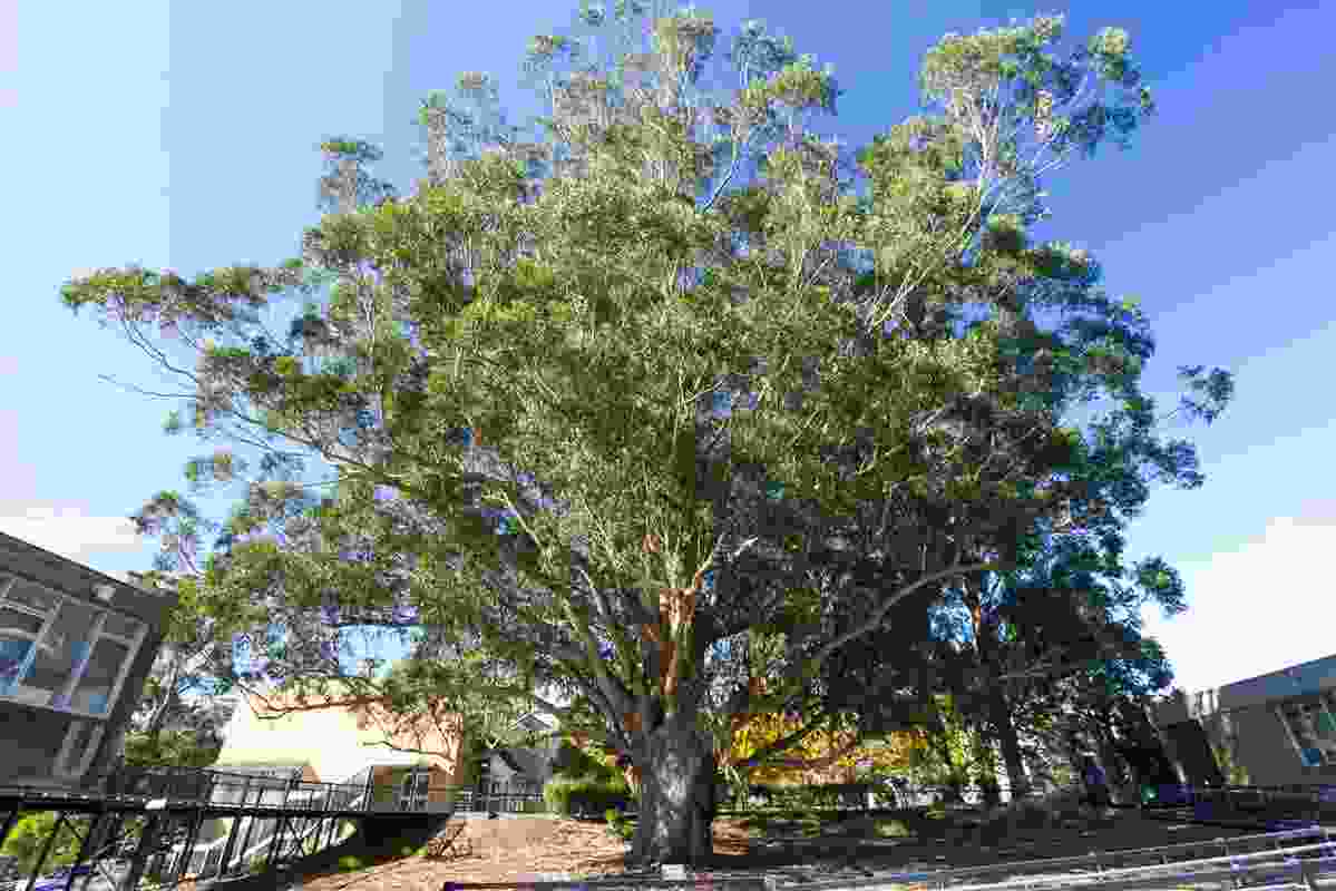 """A Tasmanian blue gum in Mount Helen known as """"The Tree of Knowledge"""" was shortlisted in the 2019 Victorian Tree of the Year Awards."""