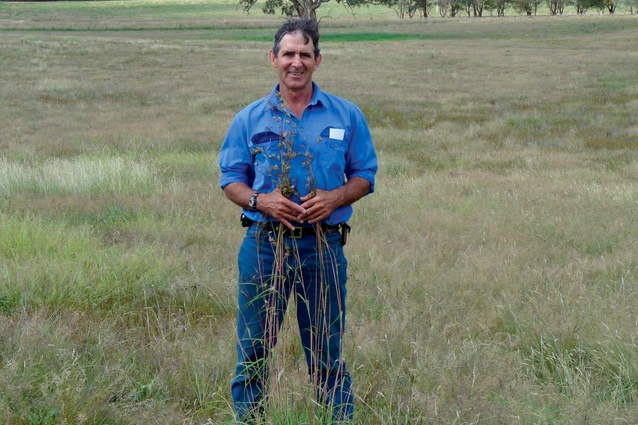 Each year grazier David Marsh harvests kangaroo grass seed (<i>Themeda tiandra</i>) from roadsides and sprinkles it around his paddocks.