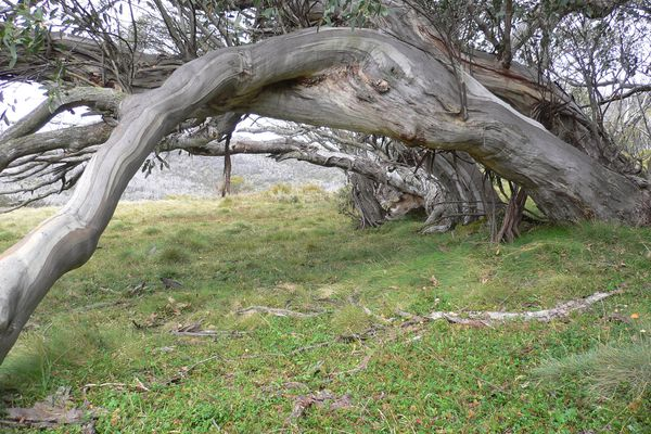 A stand of ancient, bowed snow gums.